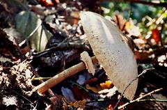 The importance of the size// La importancia del tamaño (PURIFM) Tags: ngc macrolepiota mushroom nature automn