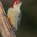 Red bellied Woodpecker (Rob & Amy Lavoie) Tags: