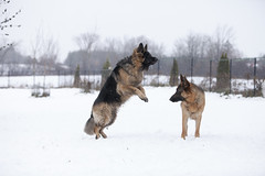 Muji and Theo (SpringTrippReilly-Life's Elements Photography-Durh) Tags: lifeselementsphotography uxbridge port perry photographer dogs dog photography german shepherd winter snow playing two trees wwwspringreillycom durham region pet durhamregionpetphotography portraits studio