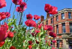 Poppies in Preston' (Tony Worrall) Tags: preston prestonian poppy flowers flower red annual bloom remember november color colour colours colourful growth plant urban building architecture city buy sell sale bought item stock remeberence war select location place visit local council instagram ilobsterit urbannature bright town street north northern northwest english british uk gb