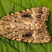 2297-_W4A5541 Copper Underwing (Amphipyra pyramidea)