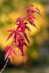 Herbstzeit (oliver_hb) Tags: garten ahorn fächerahorn herbst herbstzeit