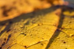 Leaf abstract (PaulHoo) Tags: leaf autumn tree forest nature macro closeup detail botshol dof bokeh 2018 nikon d750 abstract fineart drop
