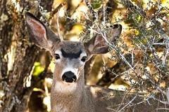 Forky Buck (Brown Acres Mark) Tags: forky buck blacktaileddeer odocoileushemionuscolumbianus cascademountains jacksoncounty oregon usa deer