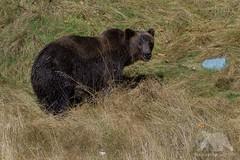 Grizzly Bear (fascinationwildlife) Tags: animal mammal wild wildlife nature natur predator fall autumn grizzly bear bär brown bc sow female bute inlet kanada canada tiere british columbia braunbär