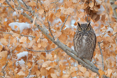 Great Horned Owl (Amy Hudechek Photography) Tags: great horned owl raptor winter snow december colorado bird nature wildlife amyhudechek nikond500 600mmf4 gho2ab coloradowildlife