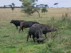 African buffalo - Syncerus caffer (Linda DV) Tags: africanbuffalo capebuffalo synceruscaffer bovidae artiodactyla lindadevolder travel africa tanzania 2018 nature geotagged fauna flora serengeti