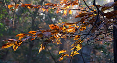 last color of autumn (scott1346) Tags: leaf color golden light backlit beauty splendor sunrise trees 1001nights autofocus 1001nightsmagiccity canont3i