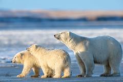 """Polar Bear Crossing"" (Glatz Nature Photography) Tags: alaska animal arctic arcticalaska barterisland bear eyelevelview glatznaturephotography kaktovik mammal nanook nanuk nanuq nature northamerica northslope polarbear ursusmaritimus wildanimal wildlife"