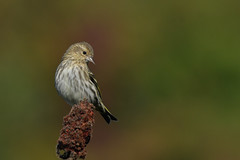 Pine Siskin (explored 12/11/18) (jonathanirons28) Tags: pinesiskin spinuspinus bigwaterfarm feederbirds yardbirding mdbirding maryland queenannesmd mbpqueenstownquad fallmigration irruptivespecies pisi 2018 october yearofthebird nikon d500 blinding explored