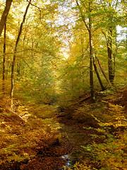 Autumn forest (EvelienNL) Tags: tree trees autumn fall forest boom bomen bos herfst herfstkleuren herfstblad bladeren blad herfstbladeren leaves leafs creek stream water beek beekje kreek oudgroevenbeek dutch holland netherlands putten ermelo