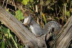 DSC06937 (simonbalk523) Tags: squirrel mammal warnham nature reserve horsham sony tamron photography wildlife wild nuts