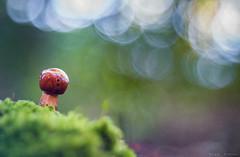 Pequeñito (sergio estevez) Tags: bokeh color campodegibraltar desenfoque diaplan f28 hongo mushroom musgo seta macro micologia luz valdeinfierno verde rojo sergioestevez