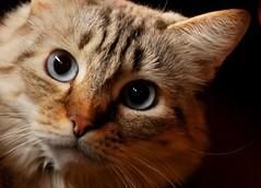 Gloria (ceriz_83) Tags: gatto cat occhi portrait