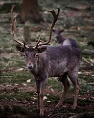Deer in the forest (d50harry123) Tags: naturephotography nature deer harrykramer veluwe apeldoorn winterswijk nikon d750 tokina wildlife wildlifephotographer