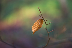 colours of december (Emma Varley) Tags: beech leaf december colourful bokeh magical dreamy warm fairytale