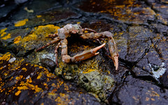 Crab, East  Sooke Park, Winter, 2018 (Dave Byng) Tags: 2018 pacificocean victoria canada macro winter wildlife britishcolumbia
