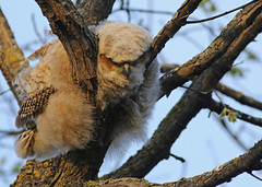 Great Horned Owlet...#5 (all played out). (Guy Lichter Photography - 4.4M views Thank you) Tags: canon 5d3 canada manitoba winnipeg wildlife animal animals bird birds owl owls greathornedowl owlet