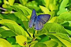 The blue gem !! (Lopamudra !) Tags: lopamudra lopamudrabarman lopa portrait butterfly blue 4lineblue pale nature jayanti duars dooars westbengal india beauty beautiful
