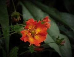 Firey Orange & yellow 1-1_DxO (vern Ri) Tags: flora fiori fleur flower blumen orange red fire