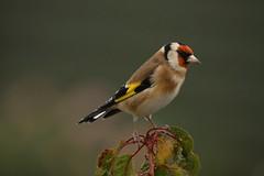 Goldfinch (Chris*Bolton) Tags: goldfinch goldfinches nature wildlife bird birds garden tree perch perched rathdrum wicklow ireland