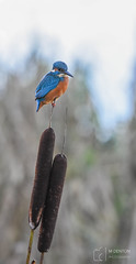 Balancing Act (mikedenton19) Tags: sprotbrough flash sprotbroughflash nature reserve naturereserve yorkshire wildlife trust yorkshirewildlifetrust ywt kingfisher alcedinidae male alcedo atthis alcedoatthis southyorkshire