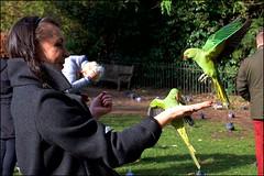Modern pigeons - DSCF7435a (normko) Tags: london hyde park kensington gardens bird feeding parakeet