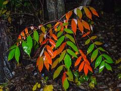 Fall Colors_4731 (smack53) Tags: smack53 fall fallseason fallcolors foliage autumn autumnseason autumncolors leaves colorful fuji fujifilm fujifinepixa805 a805 finepix westmilford newjersey
