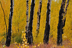 Fabulous Fall - 8889b+ (PhotoJenics by Jen Hall) Tags: fabulous fall fabulousfall fallcolors orange aspen aspens aspentree jenniferhall jenhall jenhallphotography photography nikon landscape landscapephotography scenic fallscene autumn autumncolors autumnscene wyoming wyominglandscape