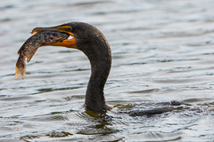 Eye to Eye (ChicagoBob46) Tags: doublecrestedcormorant cormorant bird veniceareaaudubonrookery rookery florida nature wildlife naturethroughthelens coth5 ngc