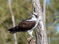 Osprey (Ed Sivon) Tags: america canon nature lasvegas wildlife wild western southwest desert clarkcounty vegas bird birdofprey flickr henderson nevada