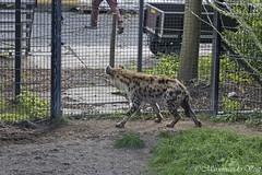 hyena (Marjon van der Vegt) Tags: diergaardeblijdorp rotterdam dieren vlinders tijgers giraffen ijsberen vogels