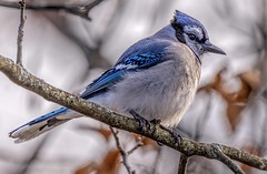 Blue Jay In Autumn (Wes Iversen) Tags: bluejays bokehwednesday brighton cyanocittacristata hww kensingtonmetropark michigan milford tamron150600mm wingwednesday autumn birds bokeh branches leaves nature hbw
