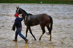 2018-11-09 (59) r9 #6 Variance on the way back to the barn (JimFleenor) Tags: photos photography md maryland marylandhorseracing marylandracing laurelpark outside outdoors horses thoroughbreds equine equestrian cheval cavalo cavallo cavall caballo pferd paard perd hevonen hest hestur cal kon konj beygir capall ceffyl cuddy yarraman faras alogo soos kuda uma pfeerd koin حصان кон 马 häst άλογο סוס घोड़ा 馬 koń лошадь weather rain