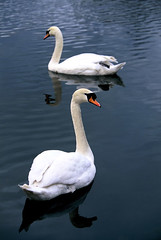 two swans (PeterDuffy1970) Tags: