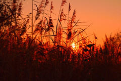 Orange reed (Alex Borst) Tags: apeldoorn zuidbroek park gelderland nederland netherlands guelders zon zonsondergang sun riet reed orange oranje sunset sonnenuntergang canne