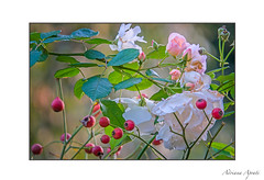 novembre (adrianaaprati) Tags: rose roses november flowering berries frame autumn light colors green pink white yellow red
