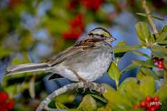 White-throated Sparrow (jt893x) Tags: 150600mm bird d500 jt893x nikon nikond500 sigma sigma150600mmf563dgoshsms songbird sparrow whitethroatedsparrow zonotrichiaalbicollis thesunshinegroup coth alittlebeauty coth5