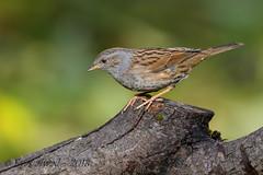 13112018-x3aDSC_3862 (Eyas Awad) Tags: passerascopaiola prunellamodularis eyasawad nikond800 nikond4 nikond500 sigma500f45 nikonafs300mmf4 tamron70200mmf28 bird birds birdwatching wildlife nature