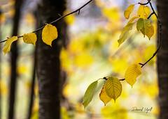 Autumn Bokeh (Darrell Wyatt) Tags: autumn fall washougal washington leaves leaf tree grove