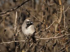 IMG_0315 (Sebastian Orue) Tags: birds birding nature texas animal bird tree tamron canon7d canon grassland biology conservation wood black throated sparrow amphispiza bilineata