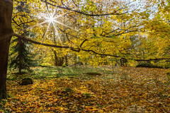 Sun Shining Through The Maple Tree (AudioClassic) Tags: park forest autumn sun sunlight tree leaf parkmanmadespace shiny mapletree sunbeam closeup season maple saturatedcolor horizontal branch alley directlybelow red orangecolor collection autumnpark foliagé goldcolored lushfoliage colorimage bush yellow outdoors colors