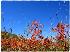 Voici l'automne (RarOiseau) Tags: ancelle montagne fleur hautesalpes plante 2005 ciel rouge bleu orange