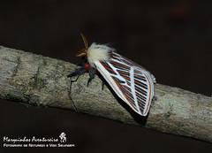 Eubergia caisa (Berg, 1883) (Marquinhos Aventureiro) Tags: eubergia caisa saturniidae moth mariposa serra canastra wildlife vida selvagem natureza floresta brasil brazil hx400 marquinhos aventureiro marquinhosaventureiro
