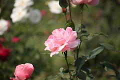 Pink Rose at Garden (arif.bsl14) Tags: flower flowers rose roseflower blooming bud bloom natural nature macro closup
