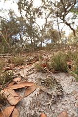 Gopher Frog (Mike D. Martin) Tags: gopherfrog floridagopherfrog frog amphibian animal wildlife nature ranacapito lithobatescapito