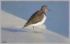 Attente ! (Armelle85) Tags: extérieur nature oiseau bécasseau mer océan macro faune