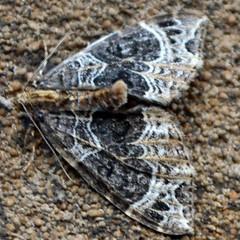 Small Phoenix ... Ecliptopera silaceata (AndyorDij) Tags: moth lepidoptera insect andrewdejardin england empinghammoths empingham rutland uk unitedkingdom smallpheonix ecliptoperasilaceata