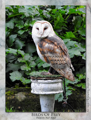 Birds of Prey (setsuyostar) Tags: hawksofsteele birdsofprey owl nikoncoolpixp900 winter2019 january2019 kenhawley