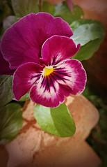 In my garden... (Anni - with camera) Tags: flower inmygarden